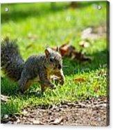 Squirrel 1 Acrylic Print