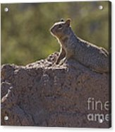 Squirrel   #8424 Acrylic Print
