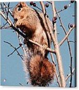 Squirrel Berry Acrylic Print