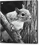 Squirrel Black And White Acrylic Print