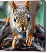 Squirrel Close-up Acrylic Print