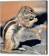 Squirrel Con Queso Acrylic Print