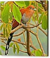 Squirrel Cuckoo In Costa Rica Acrylic Print
