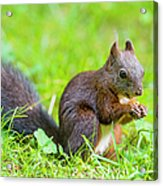 Squirrel Eating A Nut In The Grass Acrylic Print