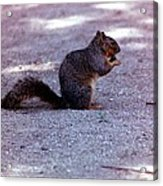 Squirrel Eating A Nut Acrylic Print