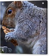 Squirrel Eating Granola Acrylic Print