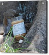 Squirrel Eating Acrylic Print