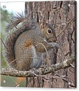 Squirrel Finds A Treat Acrylic Print