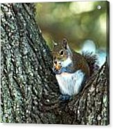 Squirrel In A Tree Acrylic Print