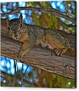 Squirrel Looking Down On Viewer Acrylic Print