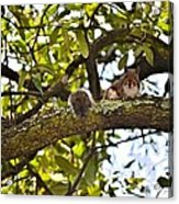 Squirrel On A Branch Acrylic Print