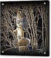 Squirrel On Birch Post Acrylic Print