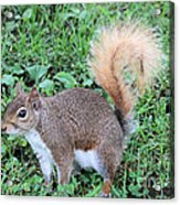Squirrel On The Ground Acrylic Print