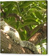 Squirrel On The Tree Acrylic Print