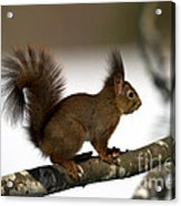 Squirrel Profile Acrylic Print