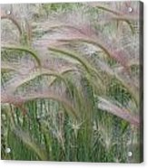 Squirrel Tail Grass In The Wind Acrylic Print