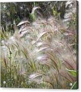 Squirrel Tail Grass Panguitch Lake Utah Acrylic Print