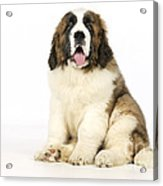 St Bernard Dog Acrylic Print