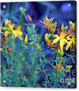 St John's Wort In The Forest Acrylic Print