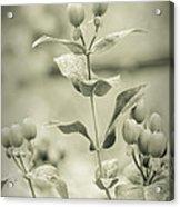 St. John's Wort - Dreamers Garden Series Acrylic Print