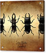 Stag Beetles Acrylic Print by Mark Rogan