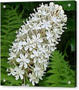 Stagger Grass Lily Acrylic Print