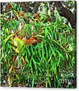 Staghorn Fresco Acrylic Print