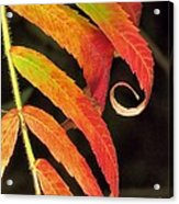 Staghorn Sumac Acrylic Print