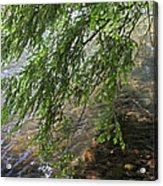 Stalking Trout Acrylic Print