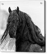 Stallion Beauty Acrylic Print