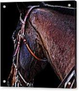 Stallion Acrylic Print