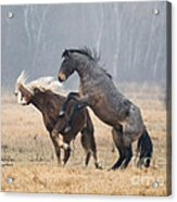 Stallion Challenge Acrylic Print