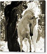 Stallion Dances In Sepia Acrylic Print