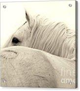Stallion In Sepia Acrylic Print