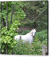 Stallion On Independence Day Acrylic Print by Patricia Keller