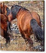 Stallions Gone Crazy Acrylic Print