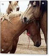 Stallions Held Captive Stick Together In Tough Times Acrylic Print