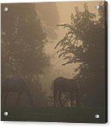 Stallions In The Fog Acrylic Print