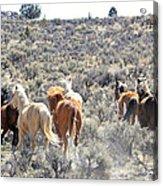 Stampede Of Wild Horses Acrylic Print