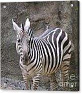 Standalone Zebra Acrylic Print