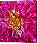 Standard Beautiful Dahlia Acrylic Print