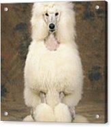 Standard Poodle Dog Acrylic Print
