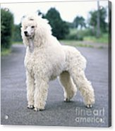 Standard Poodle Dog, Unclipped Acrylic Print
