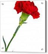 Standing Carnation Acrylic Print