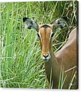 Standing In The Grass Impala Antelope  Acrylic Print