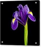 Standing Iris Acrylic Print