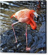 Standing On Long Legs Acrylic Print