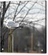 Standing Seagull Acrylic Print