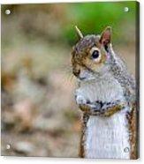 Standing Squirrel Acrylic Print