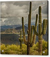 Standing Tall In The Sonoran Desert  Acrylic Print